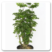 Aralia Celery Leaf Stump
