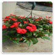 Hanging Basket Impatiens New Guinea