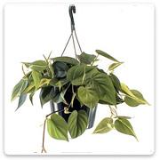 Hanging Basket Philo Brasil