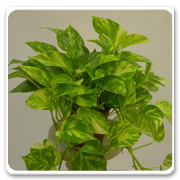 Hanging Basket Pothos Gold