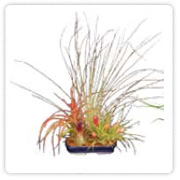 Tillandsia medium dish garden