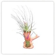 Tillandsia trunk