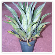 Agave Lurida Green
