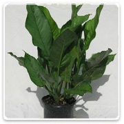 Aglaonema BJ Freeman