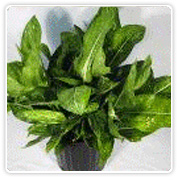 Aglaonema Stars Elite