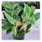 Aglaonema Black Lance