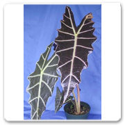 Alocasia Purpley