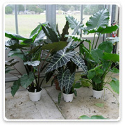 Alocasia Assorted