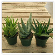 Aloe Assortment