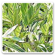 Alpinia Zerumbe Variagated
