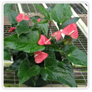 Anthurium Bulb Pans Assorted