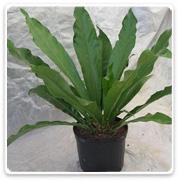 Anthurium Crinata