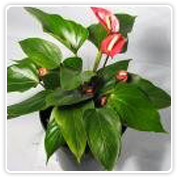 Anthurium Patriot