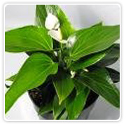 Anthurium White Gemini