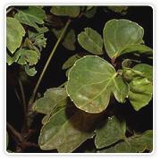 Aralia Balfour Green