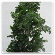 Aralia Celery Branched Cane