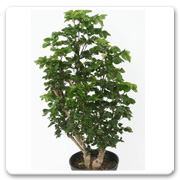Aralia Curly Top Stump
