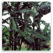 Banana Black Thai
