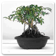 Bonsai Arboricola Banyan Style