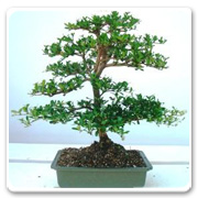 Bonsai Black Olive