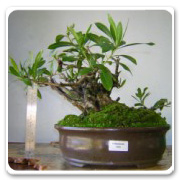 Bonsai Buttonwood