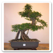 Bonsai Chinese Elm