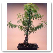 Bonsai Cypress Bald