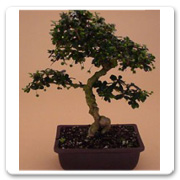 Bonsai Fukien Tea Small Leaf