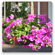 Bougainvillea - Hanging Basket