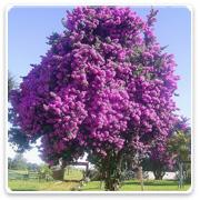 Bougainvillea Trees