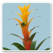 Bromeliad Guzmania Amarillo
