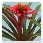 Bromeliad Guzmania