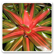 Bromeliad Neoregelia Orange Crush
