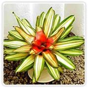 Bromeliad Neoregelia