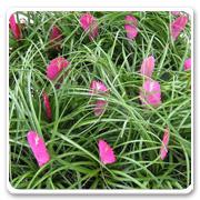 Bromeliad Neoregelia Tillandsia Cyanea