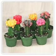 Cactus Color Grafts