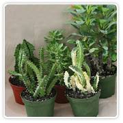 Cactus Euphorbia Assortment