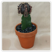 Cactus Grafted Color Top