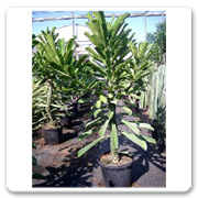 Cactus Euphorbia Drupifera