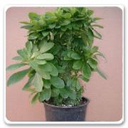Cactus Euphorbia Neriifolia Cristata