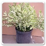 Cactus Euphorbia Pedilanthus Wide Leaf