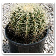 Cactus Golden Barrel