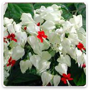 Clerodendron Bleeding Heart