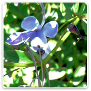 Clerodendron Blue Butterfly Bush