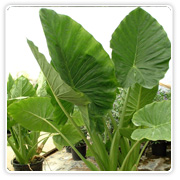 Colocasia Assorted
