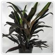 Cordyline Black Magic Stump