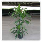 Dracaena Janet Craig Staggered