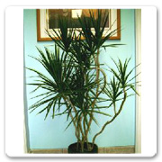 Dracaena (Assorted Varieties)