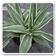 Dracaena Jewel White