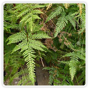 Fern Pteris Assortment